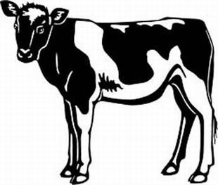 holstein calf decal