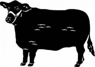 brangus cow