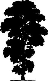 Poplar Birch
